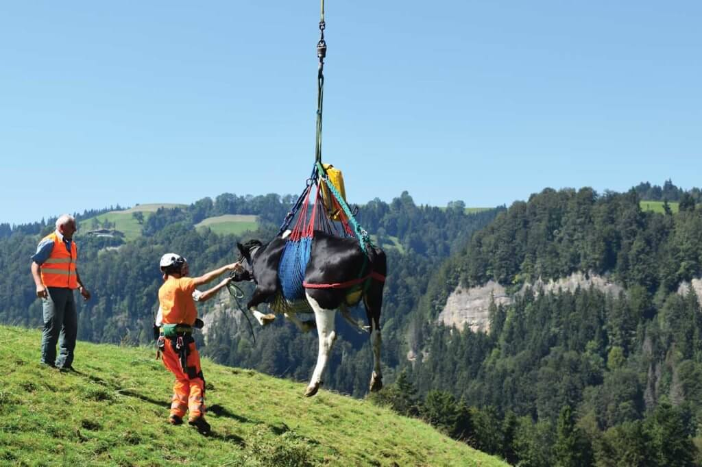 Marius Rosti, a crewmember at the Gsteigwiler base, ensures a cow is securely fastened as it begins a short flight to a farmhouse. Oliver Johnson Photo