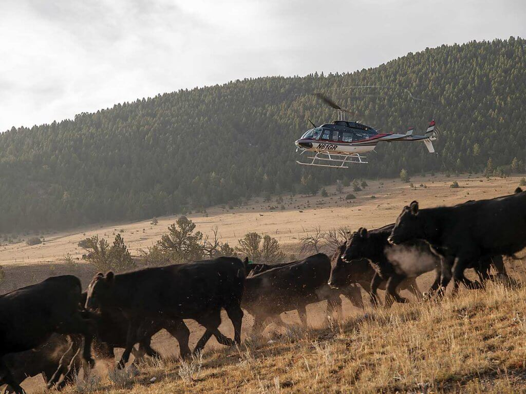 The mustering of cattle is one of the most challenging agricultural operations. Kari Greer Photo