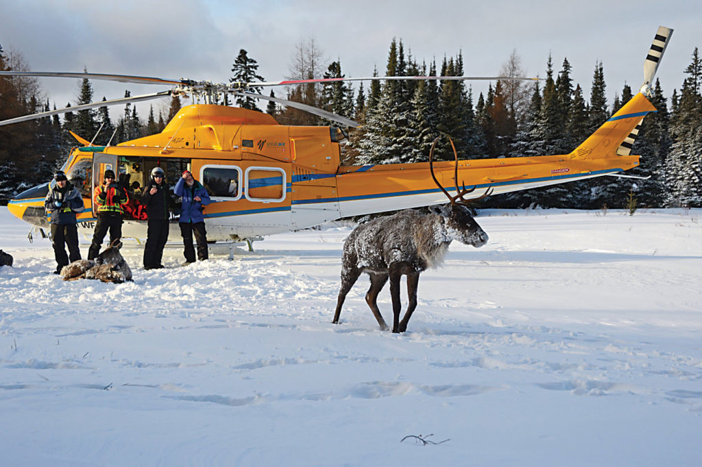 A caribou wanders in front of one of Wisk Air's Bell 412s during winter operations. Northern Ontario can present some extremely cold conditions for the operator. Wisk Air Helicopters Photo