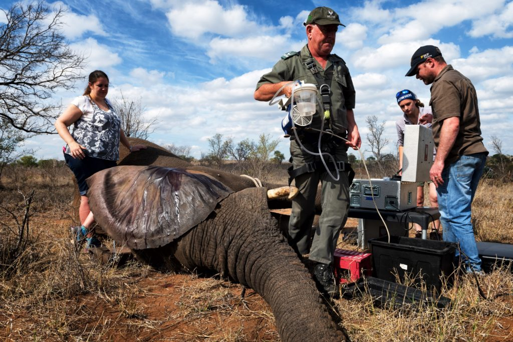 SANParks researchers on ground with elephant in Kruger National Park